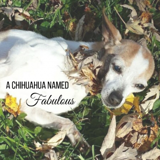A Chihuahua Named Fabulous